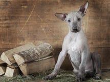 Colpo disegnato rurale di un cucciolo con legna da ardere Fotografia Stock