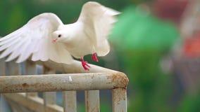 Colpo eccellente del movimento lento di un piccione bianco che vola via un corrimano archivi video