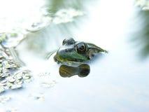 Colpo freddo della rana Fotografie Stock