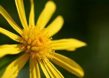 Colpo giallo sveglio di macro del fiore del doronicum Fotografia Stock