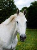 Colpo grigio della testa di cavallo Fotografia Stock
