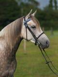 Colpo grigio della testa di cavallo Fotografia Stock Libera da Diritti