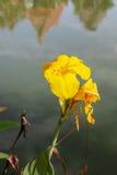 Colpo indiano, fiore di Canna sull'acqua in Tailandia Fotografie Stock
