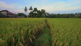 Colpo lento di riso maturato su un grande giacimento del riso archivi video