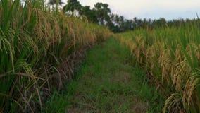 Colpo lento di riso maturato su un grande giacimento del riso stock footage