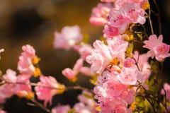 Colpo macro dei fiori rosa del fiore un giorno di molla incantevole immagini stock