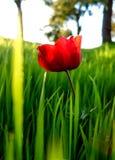 Colpo macro di fioritura degli anemoni di inverno rosso del campo in erba verde Fie Fotografia Stock