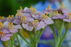 Colpo a macroistruzione dei fiori Fotografia Stock Libera da Diritti