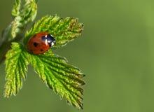 Colpo a macroistruzione del ladybug Fotografie Stock