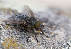Colpo a macroistruzione della mosca sulla superficie della roccia Fotografia Stock Libera da Diritti
