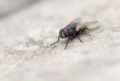 Colpo a macroistruzione di una mosca fotografia stock