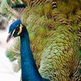 Colpo molto vicino del turchese del pavone fotografia stock libera da diritti