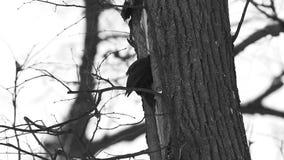 Colpo nero del picchio (martius di Dryocopus) un albero asciutto archivi video