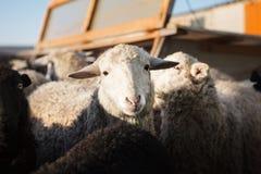 Colpo orizzontale delle pecore bianche che esaminano la macchina fotografica Fotografia Stock
