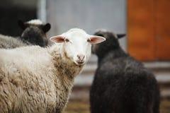 Colpo orizzontale delle pecore bianche che esaminano la macchina fotografica Fotografie Stock