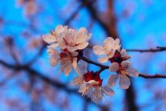 Colpo potato dell'albero di albicocca di fioritura Priorit? bassa astratta della natura Bella natura fotografie stock