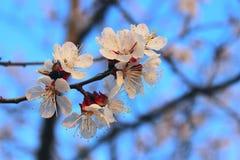 Colpo potato dell'albero di albicocca di fioritura Priorit? bassa astratta della natura Bella natura immagini stock libere da diritti