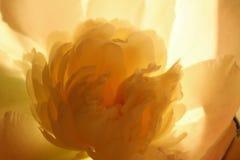 Colpo potato vago di un fiore rosa Il fiore della peonia, si chiude su Modello floreale con il fiore rosa-chiaro della peonia Mod immagini stock libere da diritti