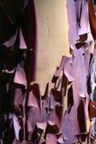 Colpo rosso di macro della corteccia della sbucciatura di Madrone (arbutus menziesii) Immagine Stock