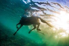 Colpo subacqueo di nuoto del cavallo contro il sole sulla superficie dell'acqua fotografia stock libera da diritti