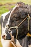 Colpo in testa adulto del toro Fotografia Stock