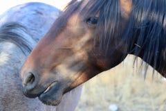 Colpo in testa americano selvaggio del cavallo del mustang Immagine Stock