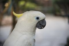 Colpo in testa bianco del pappagallo di cacatua Fotografia Stock Libera da Diritti