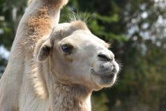 Colpo in testa del cammello fotografia stock