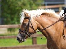 Colpo in testa del cavallo in briglia Fotografia Stock Libera da Diritti