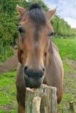 Colpo in testa del cavallo, riposante sulla posta Immagini Stock