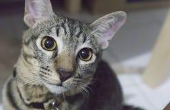 Colpo in testa del gatto fotografie stock
