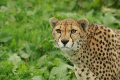 Colpo in testa del ghepardo femminile (jubatus di acinonyx) Immagini Stock