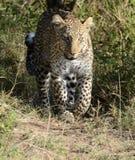 Colpo in testa del leopardo Fotografia Stock