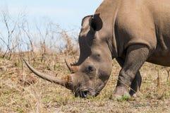 Colpo in testa del rinoceronte bianco nella riserva di caccia di Ithala immagini stock libere da diritti