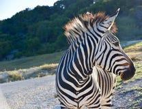 Colpo in testa del ` s di ambasciatore Heartman della zebra: Zebra del ` s di Hartman a Rim Wildlife Center fossile in Glen Rose, fotografie stock