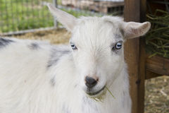 Colpo in testa della capra Fotografia Stock Libera da Diritti