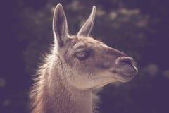 Colpo in testa della lama di Guanako al sole Fotografie Stock