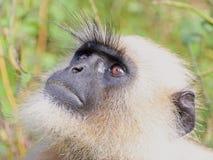 Colpo in testa della scimmia Fotografie Stock Libere da Diritti