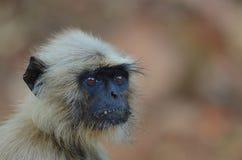 Colpo in testa della scimmia Fotografie Stock