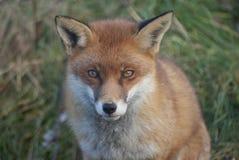 Colpo in testa della volpe di Fox rosso (vulpes di Viulpes) Fotografia Stock Libera da Diritti
