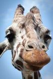 Colpo in testa di espressione della giraffa Fotografie Stock Libere da Diritti