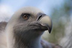 Colpo in testa di giovane avvoltoio Immagine Stock
