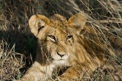Colpo in testa di un cucciolo di leone nel cespuglio immagini stock