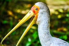 Colpo in testa di una cicogna dipinta Fotografia Stock