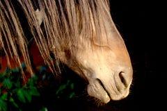Colpo in testa parziale di profilo del vecchio stallone selvaggio del mustang Fotografia Stock