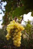 Colpo verticale di un mazzo dell'uva bianca che appende sul ramo Fotografia Stock
