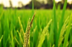 Colpo vicino della risaia immagini stock