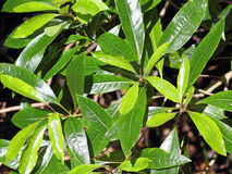 Colpo vicino delle foglie della persea indica in una foresta dell'alloro Made Fotografie Stock