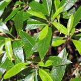 Colpo vicino delle foglie della persea indica in una foresta dell'alloro Made Fotografia Stock Libera da Diritti