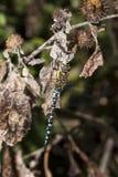 Colporteur migrateur mâle Photo libre de droits